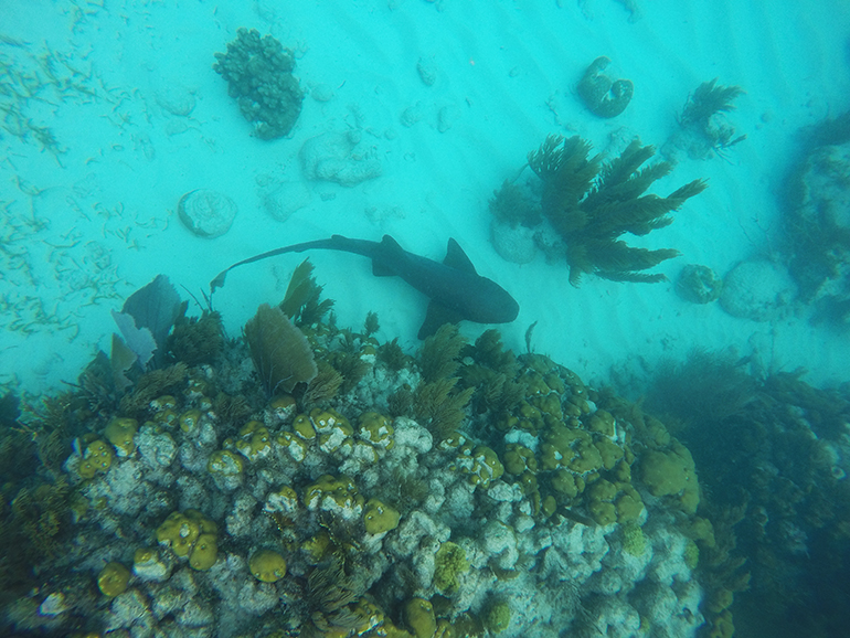 Local nurse shark resting on ocean bottom
