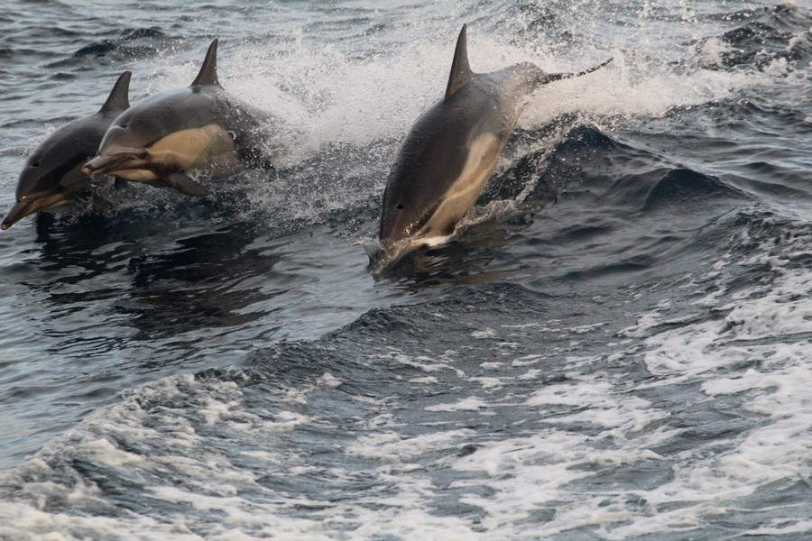 Common dolphins leaping in the boat wake