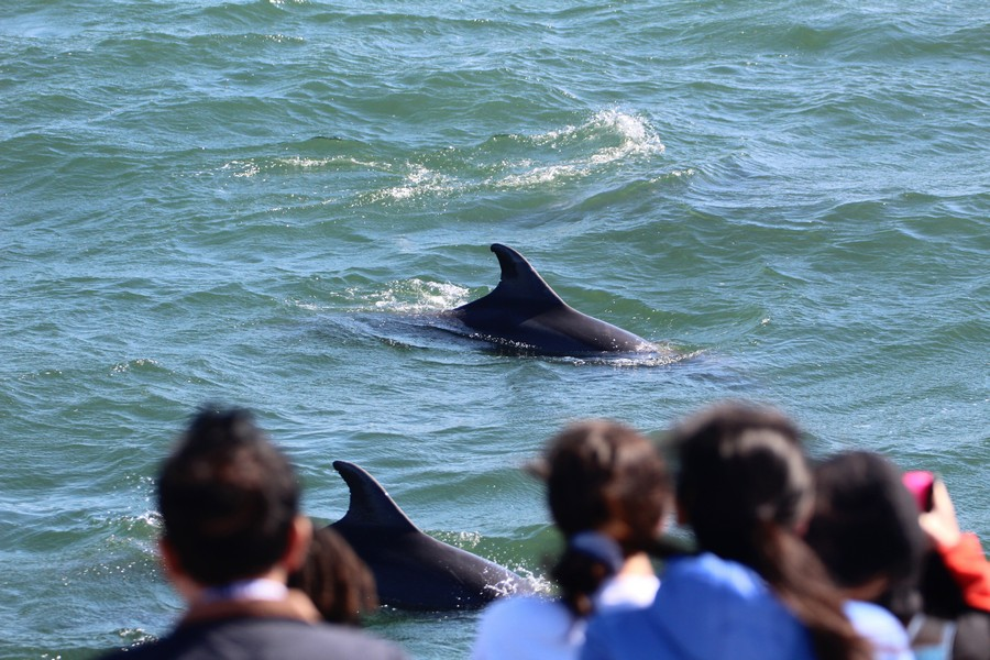 Bottlenose dolphins swimming by the front of the boat as it is stopped to observe them