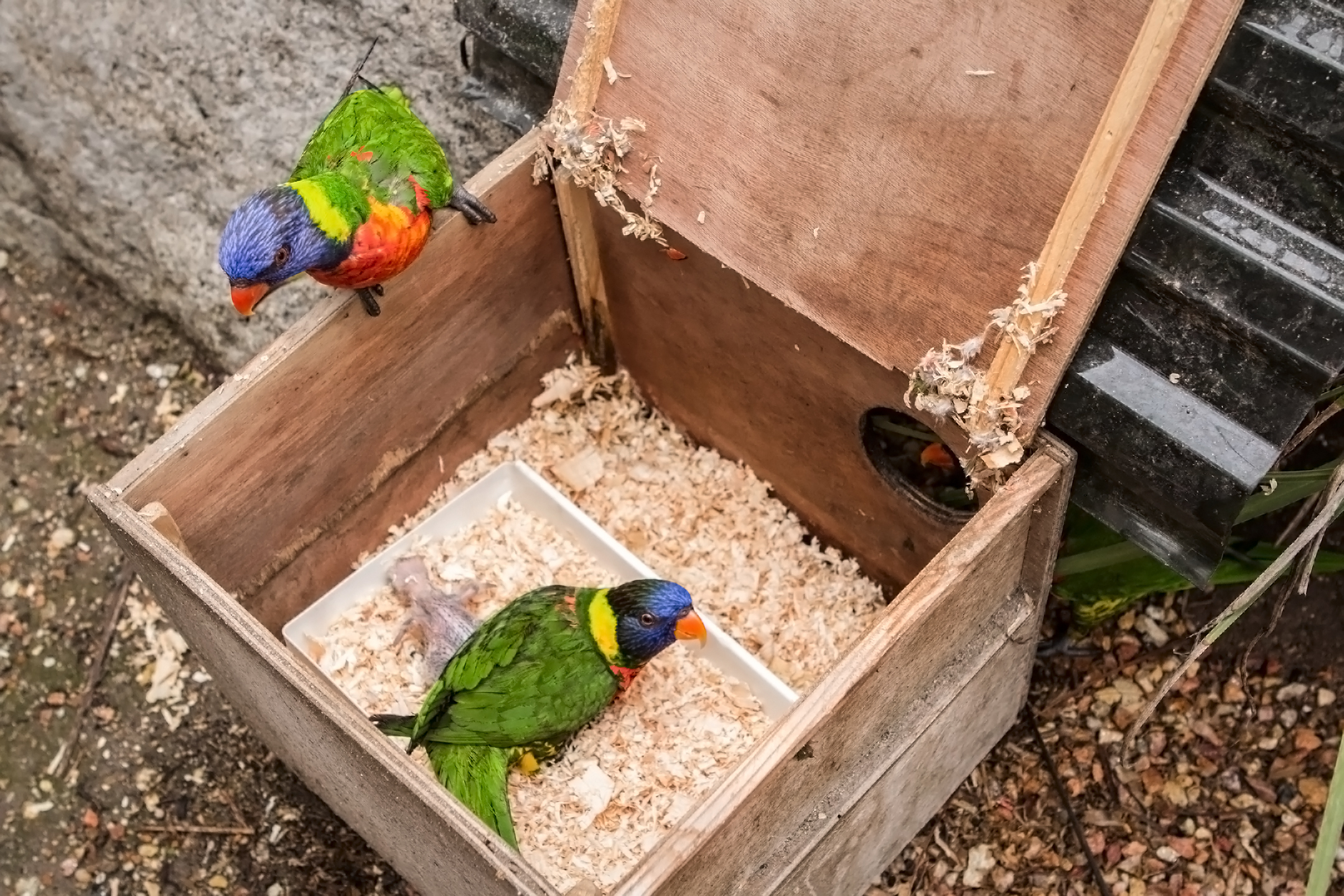 Lorikeets in nesting box