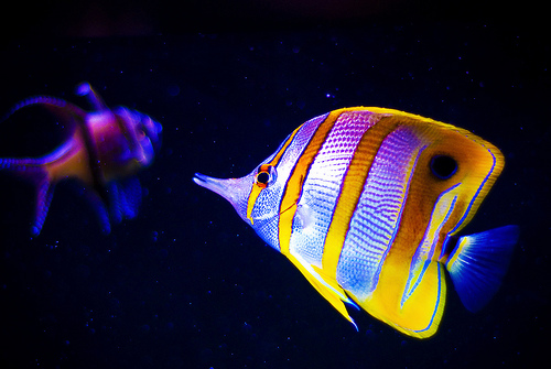 http://www.aquariumofpacific.org/images/blog_uploads/Copperband_ButterflyFish_froitrish01.jpeg