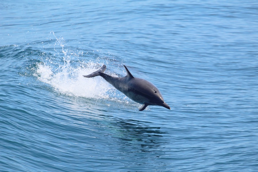 Bottlenose dolphin leaping in the air