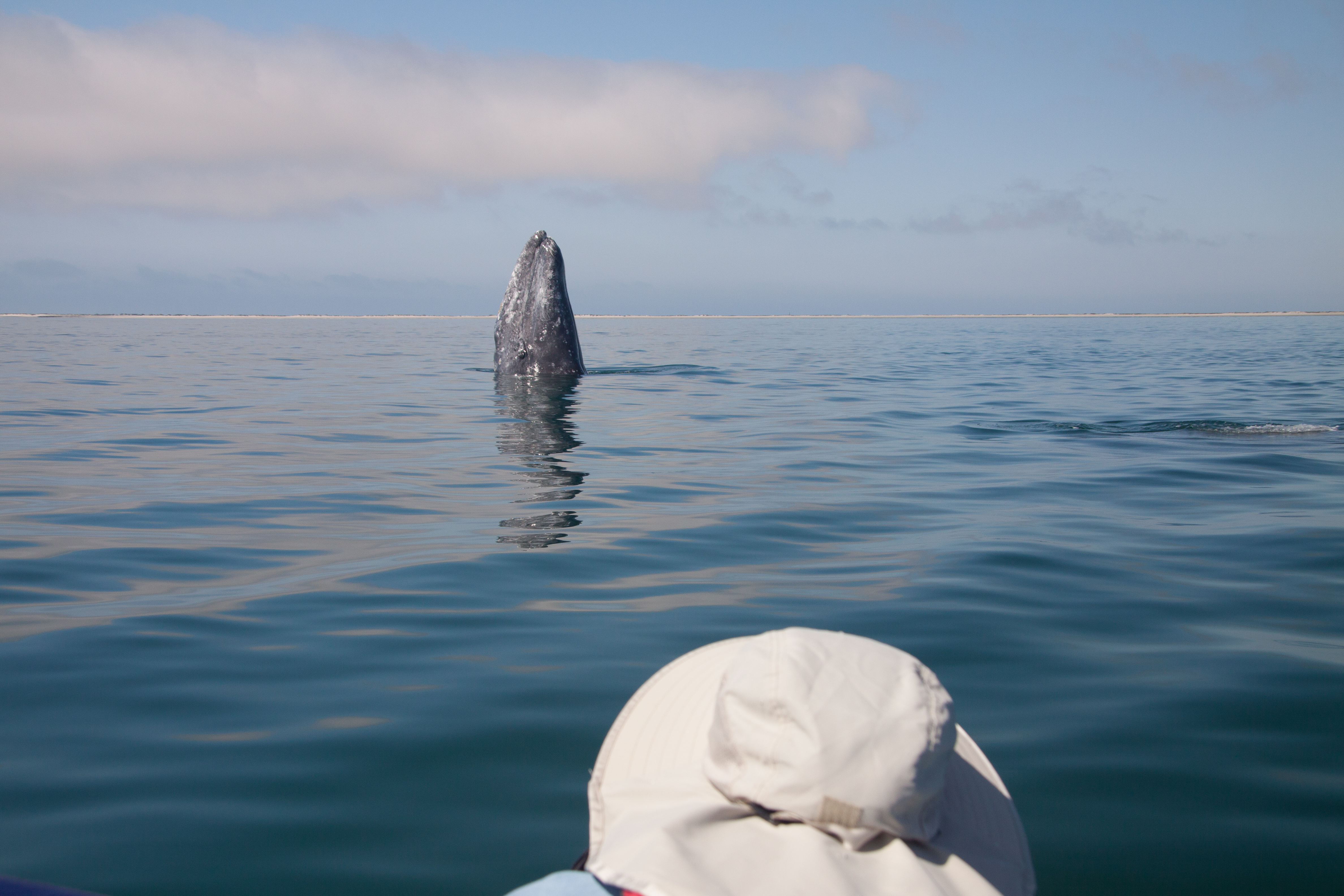 Gray whale coming out of the water