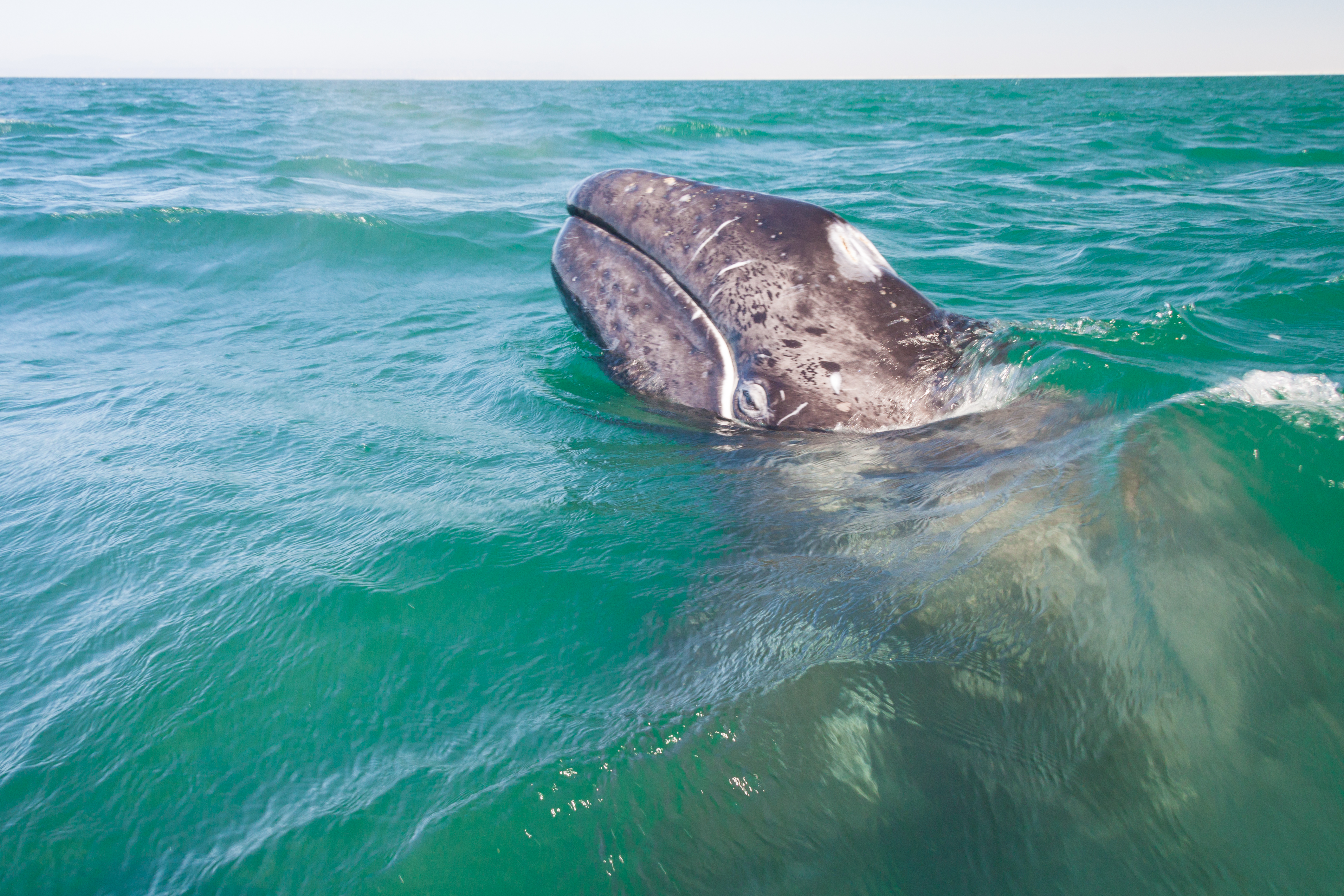 Gray Whale baby up close