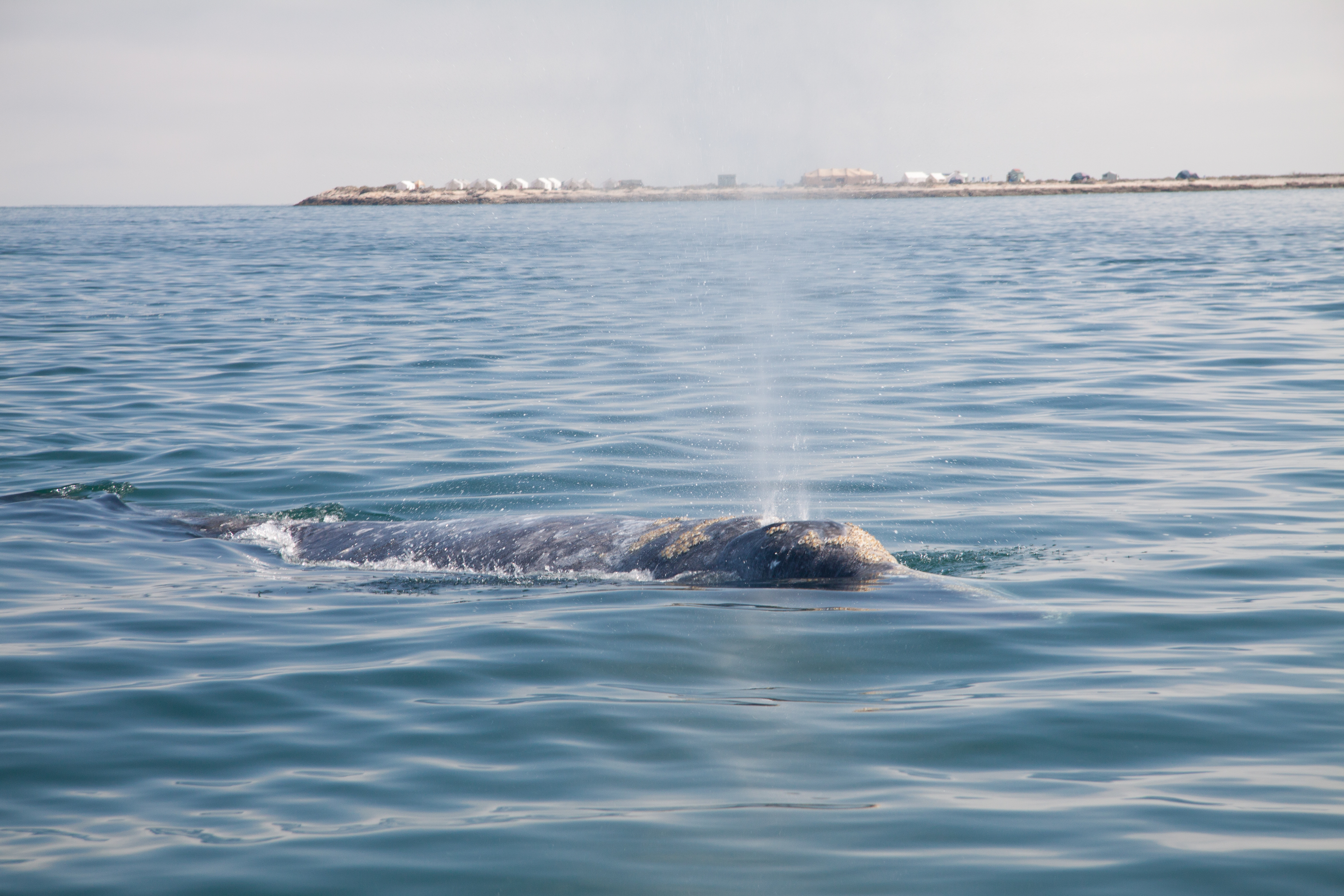 Gray Whale spraying water from blow hole