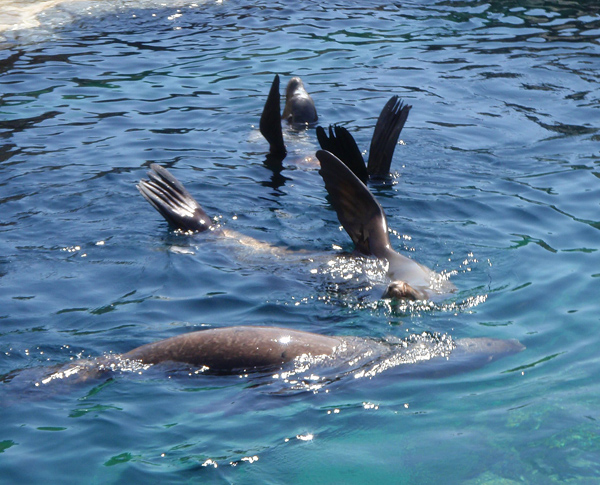 Three sea lions in the water with their flippers out of the water