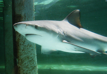 http://www.aquariumofpacific.org/images/blog_uploads/leah_bullshark.jpg