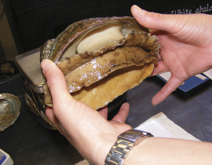 Abalone in hands showing the underside