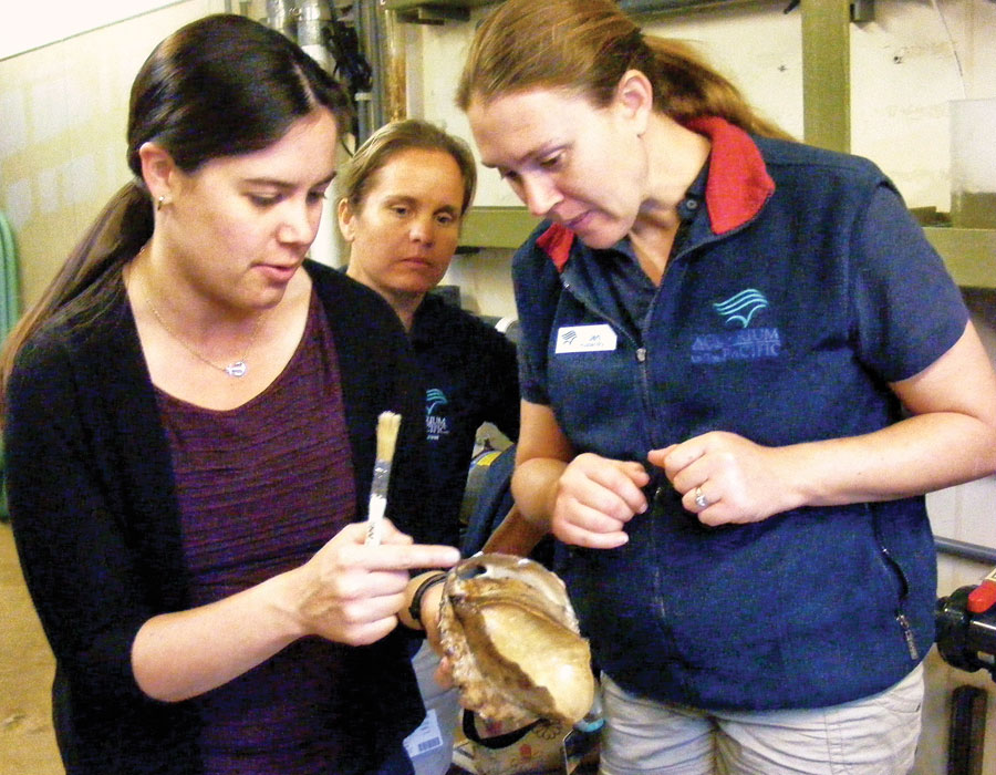 Aquarium staff inspecting an abalone