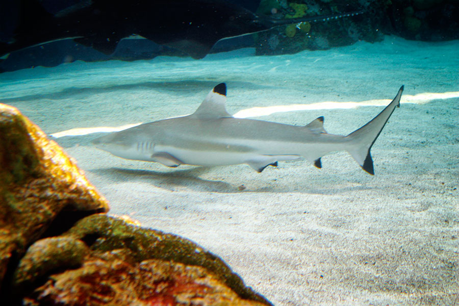 Black tip reef shark swimming