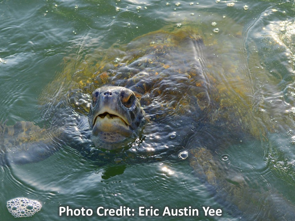 Sea turtle with head coming out of the water