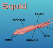 Squid drawing with label body-part callouts