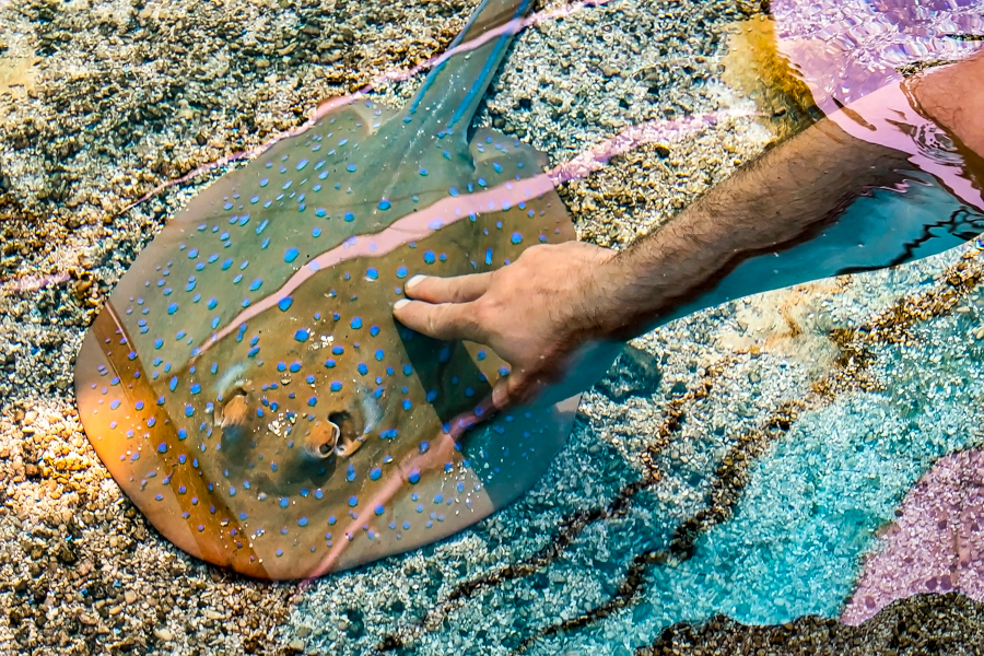 Touch pool with hand touching spotted ray