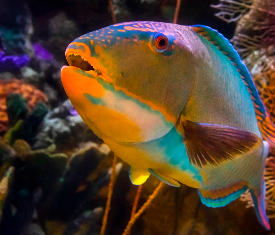 tropical parrotfish in front of coral closeup