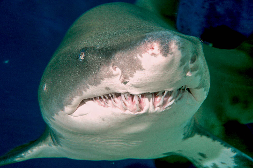 Front Facing Shark