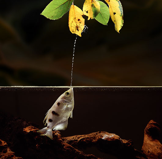 archerfish spitting water at a spider on a leaf above the water