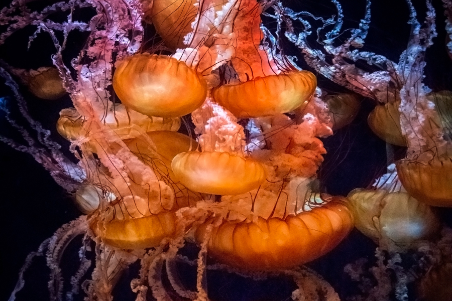 Grouping of orange colored sea jellies