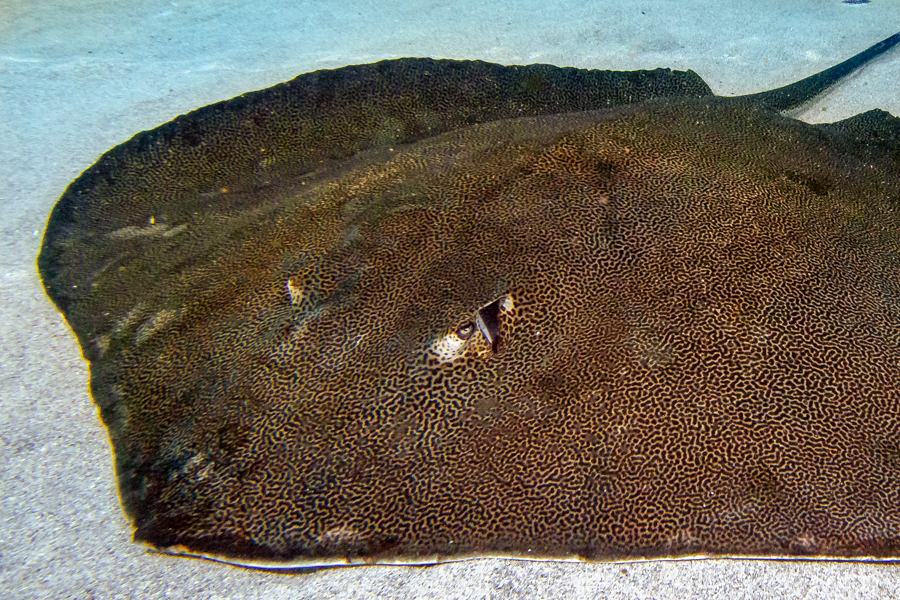 Reticulate Whiptail Ray