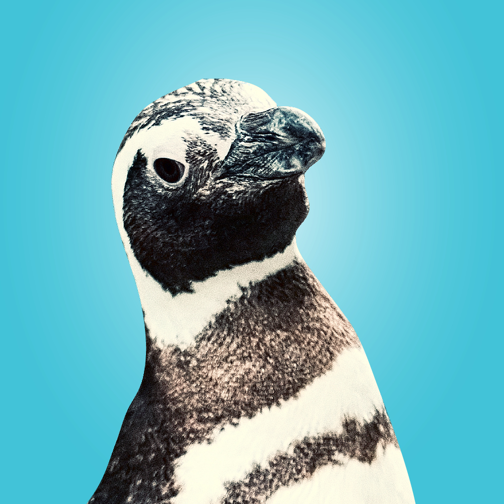 Admiral Fancy Pants (Magellanic penguin) headshot