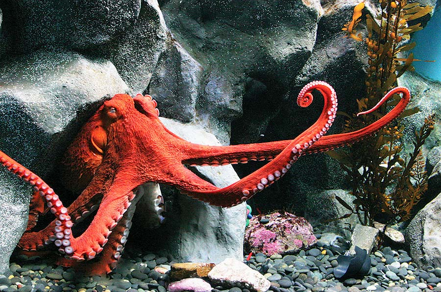 Giant pacific octopus emerging from rocks