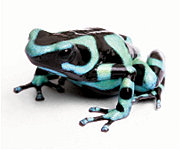 Blue and black frog