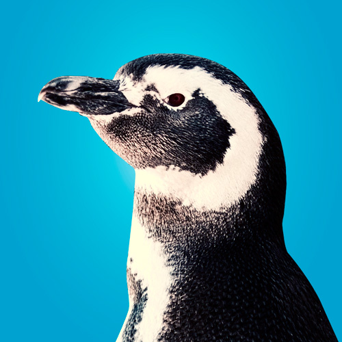 Lily penguin portrait