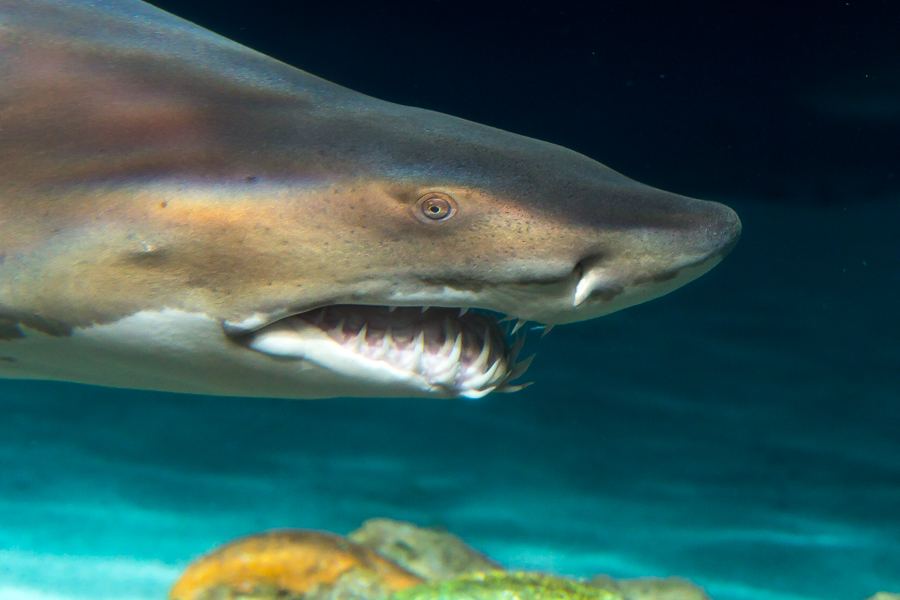Sand tiger shark face close up