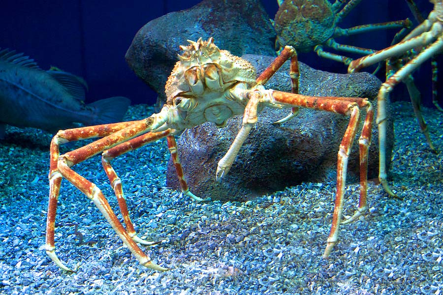 Spider crab in exhibit