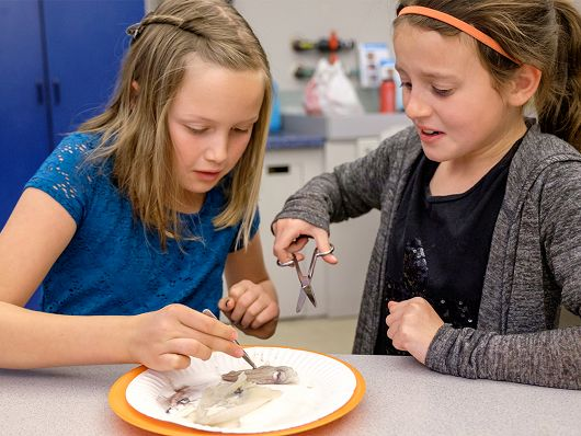 Two girls dissecting squid - popup