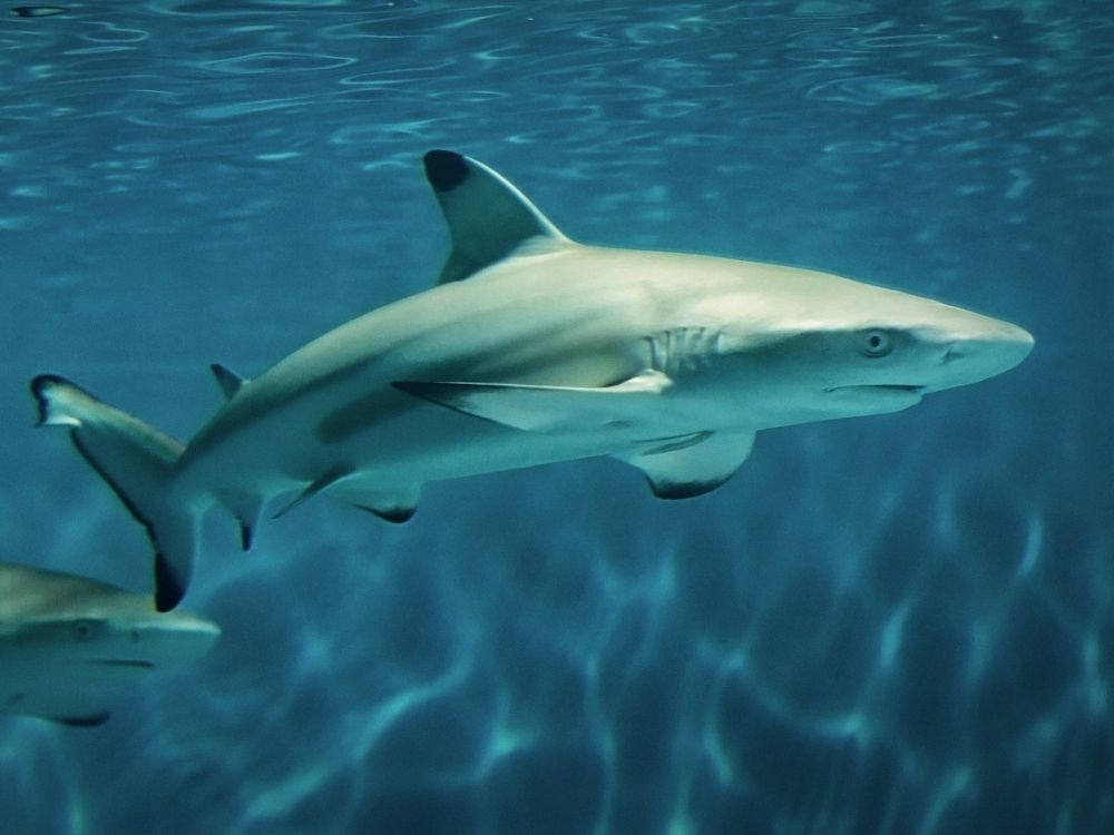 Image result for blacktip reef shark