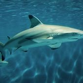 blacktip reef shark - thumbnail