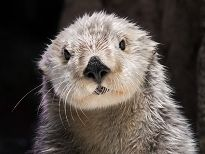 charlie the sea otter