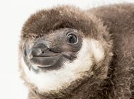 penguin chick links to Adopt a Penguin Chick