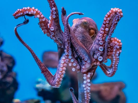 day octopus on blue background - popup