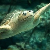 olive ridley sea turtle swimming in exhibit - thumbnail