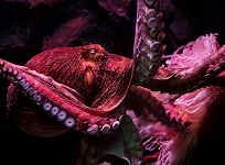Cephalopod Movie Night with Science Friday