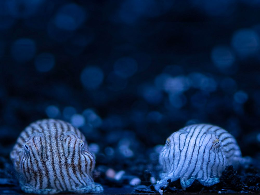 two pajama squid - lightbox