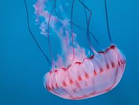 purple striped jellyfish on blue background - thumbnail