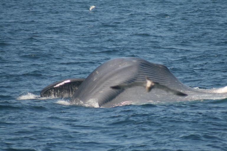 Blue Whale Season Wrapping Up