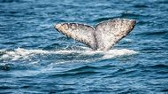 Our First Gray Whale of the Year! And other surprises too!
