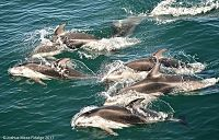 Pacific white-sided dolphins - thumbnail
