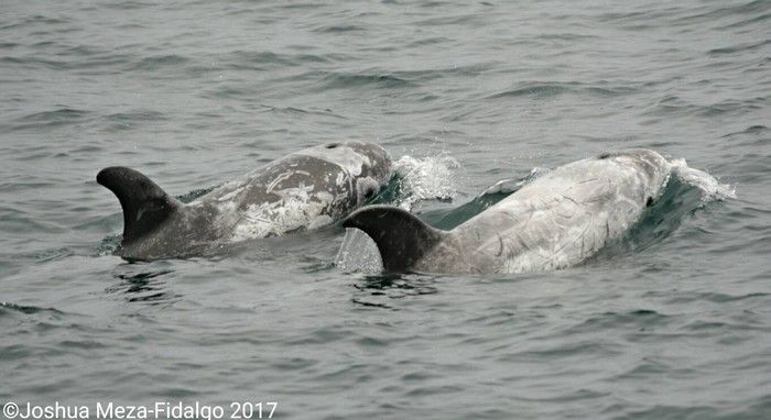 Risso's dolphins - lightbox