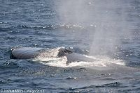 Blue whale blowholes and rostrum - thumbnail
