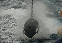 Another Orca Visit