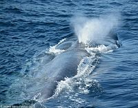 Blue whale rostrum and blow - thumbnail