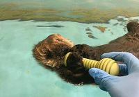Taking Care of a Sea Otter Pup