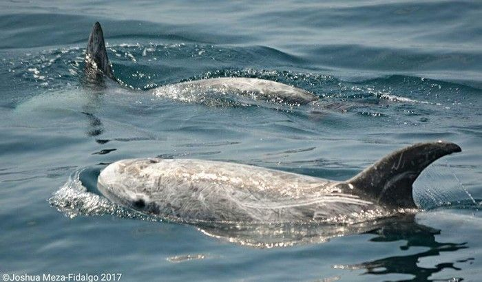 Risso's dolphin at the surface - lightbox