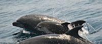 Bottlenose dolphins cow/calf pair - thumbnail
