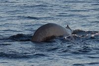 Blue whale dorsal fin and tail stock as it dives - thumbnail
