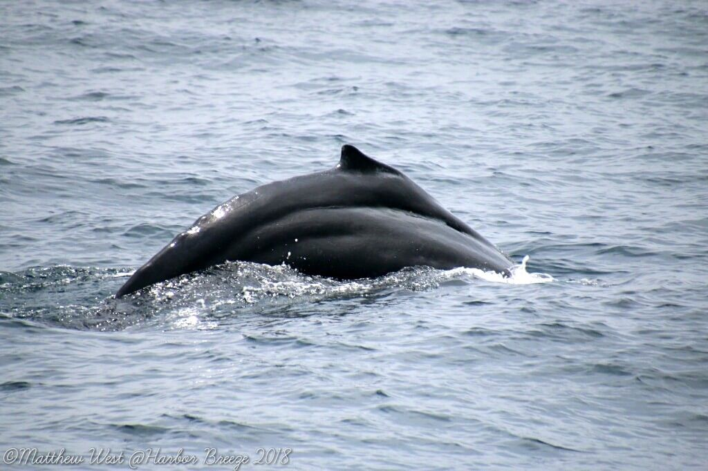 Humpback whale with distinct marks on its side - lightbox